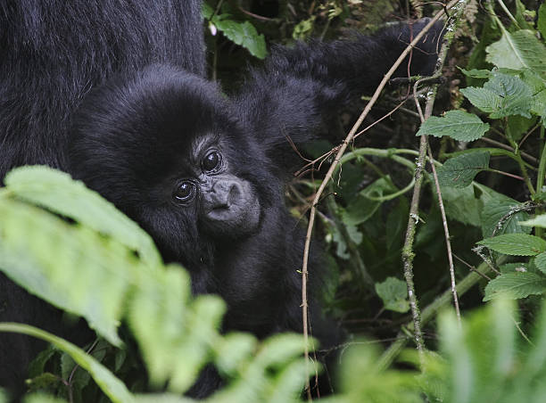 This photo taken on June 17, 2012, shows a young member of the Agashya family of mountain Gorillas frolicking in dense undergrowth at the Virunga National park in Rwanda. For ten years the number of mountain gorillas has shown a steady growth in the Virungas mountains, which is shared by Rwanda, Uganda and Democratic Republic of Congo (DRC). The large primates in the national park now number about 480 individuals, out of a world population of 790. This trend, achieved despite chronic armed conflict across the D.R. Congo border that adjoins the gorilla habitat, is essentially the result of sustained fight against poaching, say the Rwandan authorities. AFP PHOTO / AUDE GENET