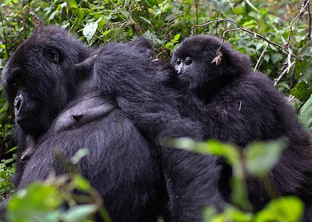 Male mountain Gorillas, members of the Agashya family, are pictured in the Sabyinyo Mountains of Rwanda on December 27, 2014. Rwanda, well known for mountain gorillas an endangered species found only in the border areas between Rwanda, Uganda and the Democratic Republic of the Congo and hosted more than a million visitors between 2006-13, generating from the national parks alone $75m (£44m) in tourism revenue in that time; 85% of this is from trekkers who come to see some of the country's 500 gorillas. AFP PHOTO/Ivan LIEMAN